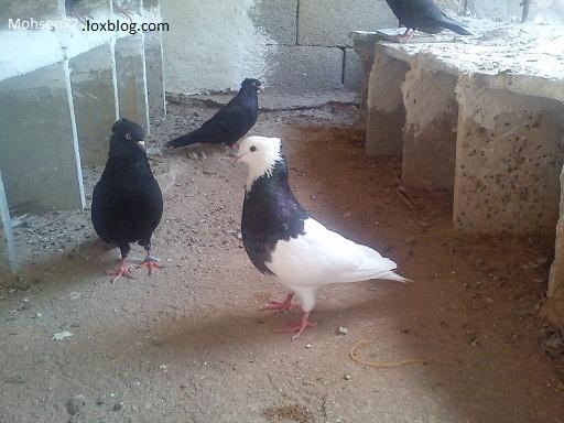 کبوتر سبز عکس کبوتر سبز   عکس کبوتر سبز   گالری عکس ویژه ترین ...
