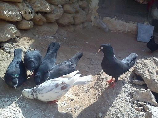 عکس کبوتر سفید دم سیاه